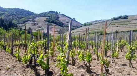 vigne-cornas