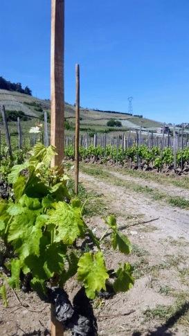 vigne-cornas2